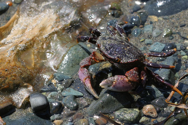 Jordan River Beach Crab