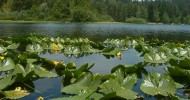 Lily Pads on Kemp Lake - Sooke BC